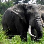 Elephant at Lulimbi in Virunga National Park,