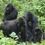 Rwanda Gorilla Group