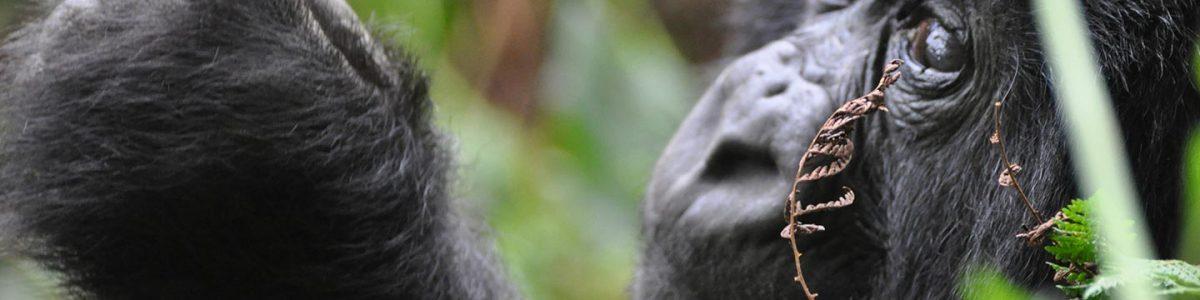 13 Days Rwanda Gorillas, Chimps & Wildlife - Rwanda Gorillas, Chimps & Wildlife tour safari - Rwanda Gorilla trekking