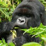 Rwanda Silverback Mountain Gorilla