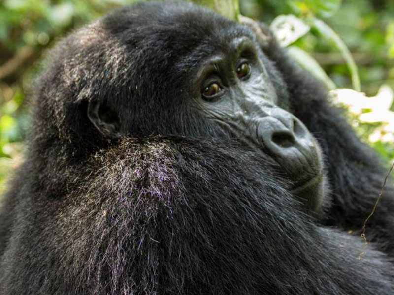 Uganda Gorilla Trekking - Chimp Tracking