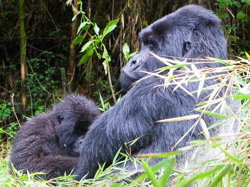 Rwanda primates and wildlife adventure - Rwanda Safaris - Rwanda gorilla Safaris