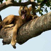 tree climbing lions in QENP