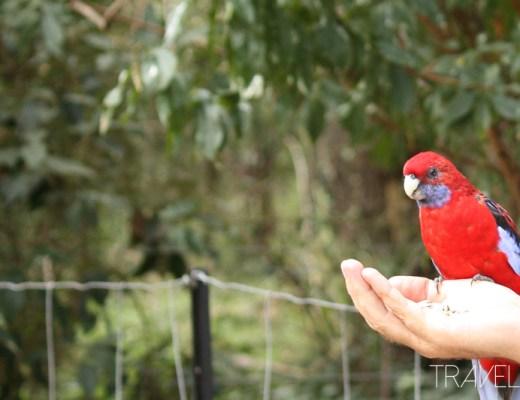 Melbourne - Crimson Rosella
