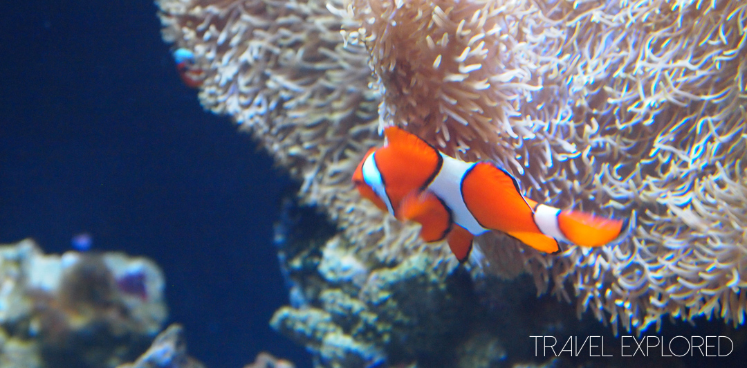 Seattle - Clownfish otherwise known as Nemo