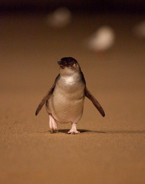 Little Penguin on the beach