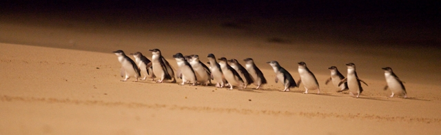 A waddle of Little Penguins crossing the beach