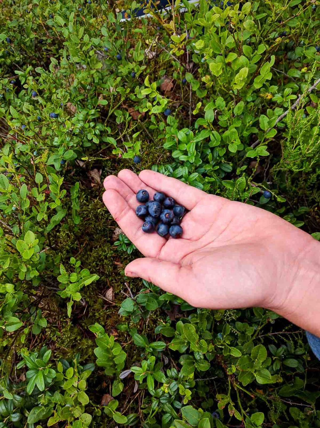 A handful of wild blueberries.