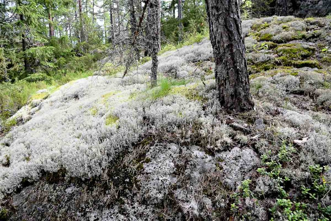 white moss in a Finnish forest