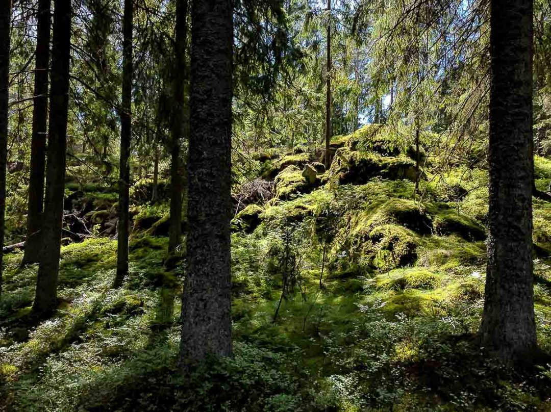 mossy forest in Finland