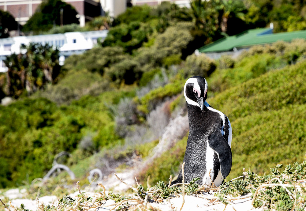 african penguin saying hello