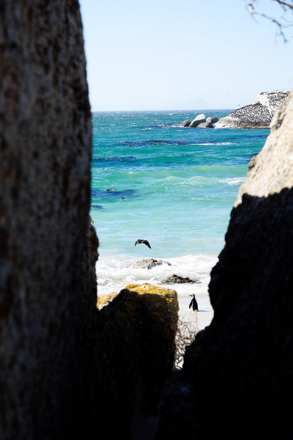 little penguin visible in between two boulders