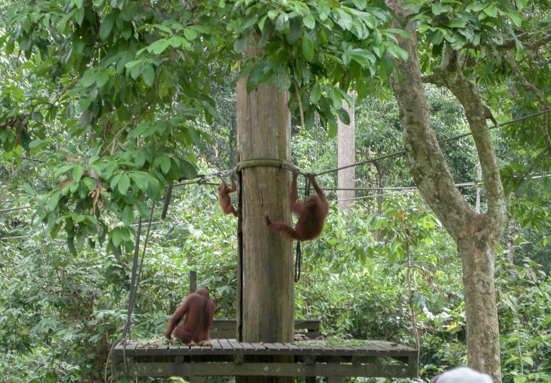 2 orangutans and a baby feeding at the Sepilok Rehabilitation Centre