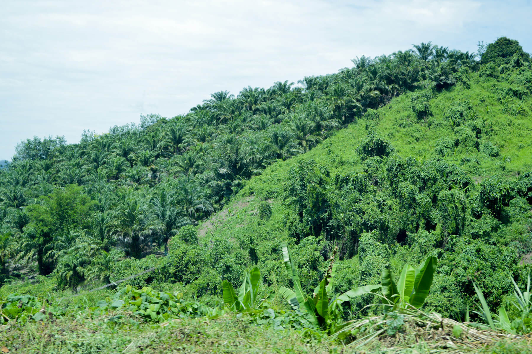 Palm Oil trees in a plantation on the side of a hill