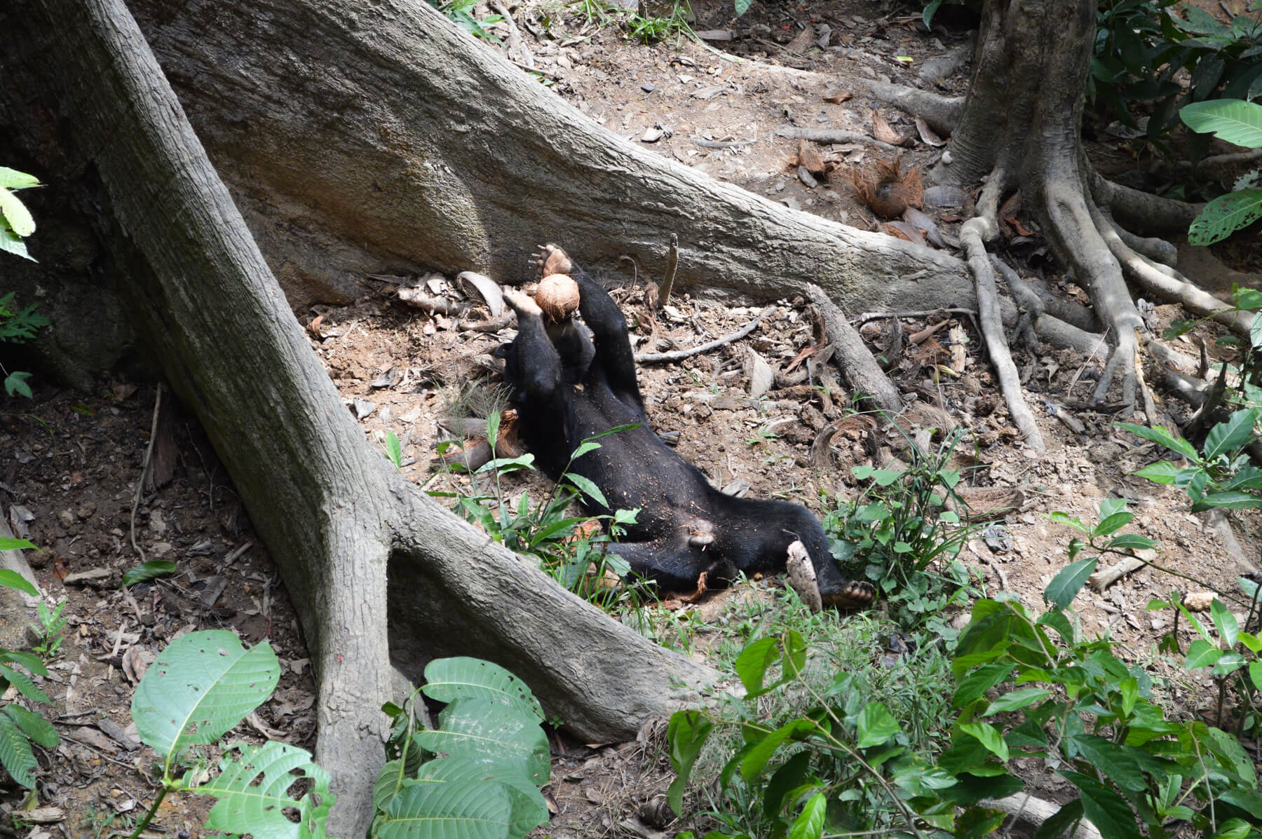 A sun bear laying on his back drinking coconut