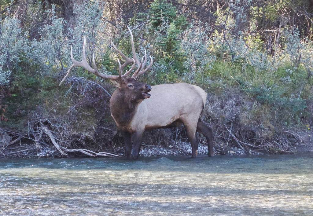 Bull Elk standing in the river making a mating call