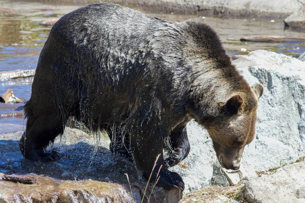 A big male Grizzly Bear getting out of the water