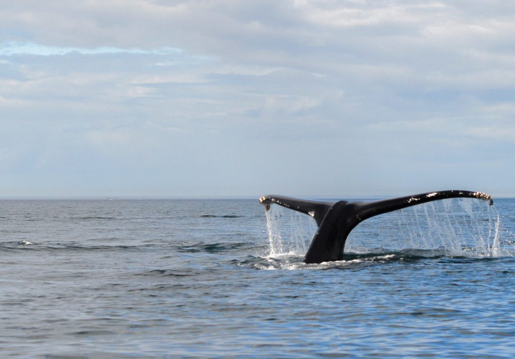 The splashing tail of a big Humpback Whale