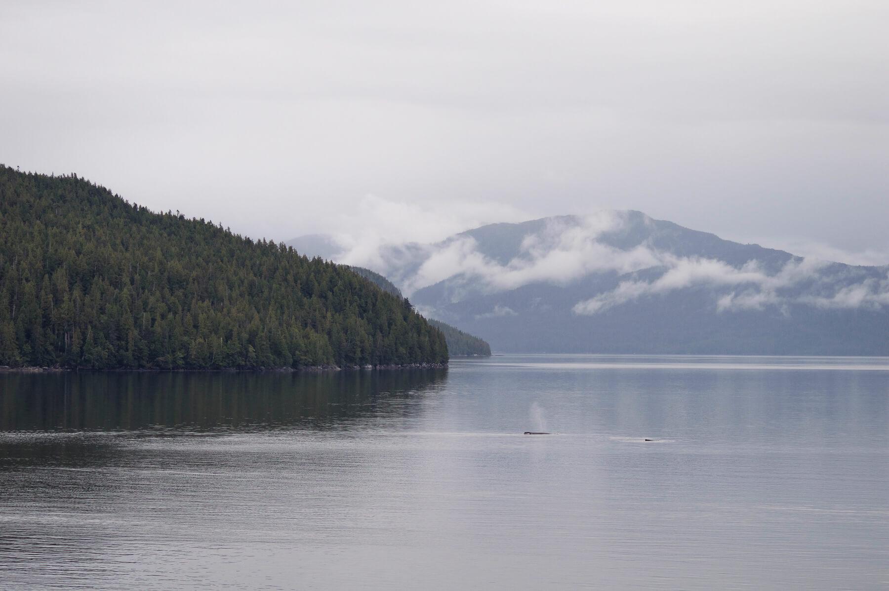 2 humpback whales breaching in Alaska