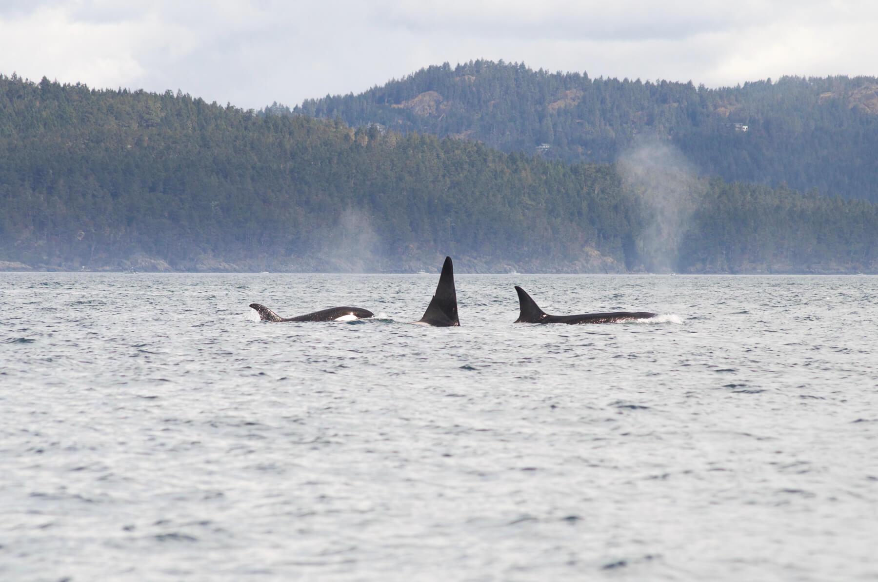 3 Orcas swimming, Victoria BC