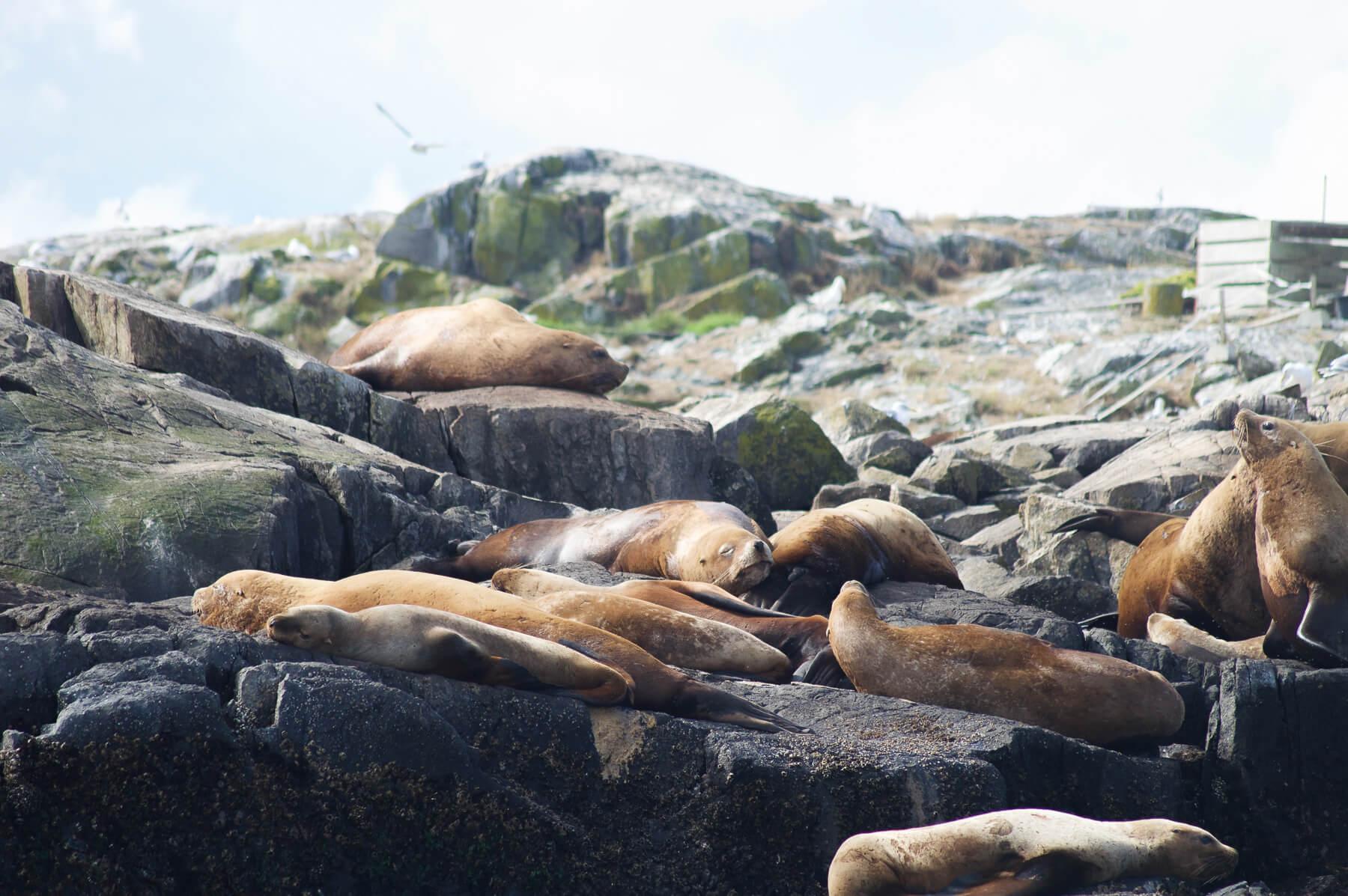 Seals sleeping on Race Rocks