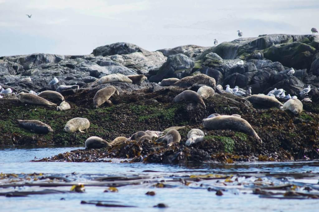 A huge group of grey seals sleeping on rocks