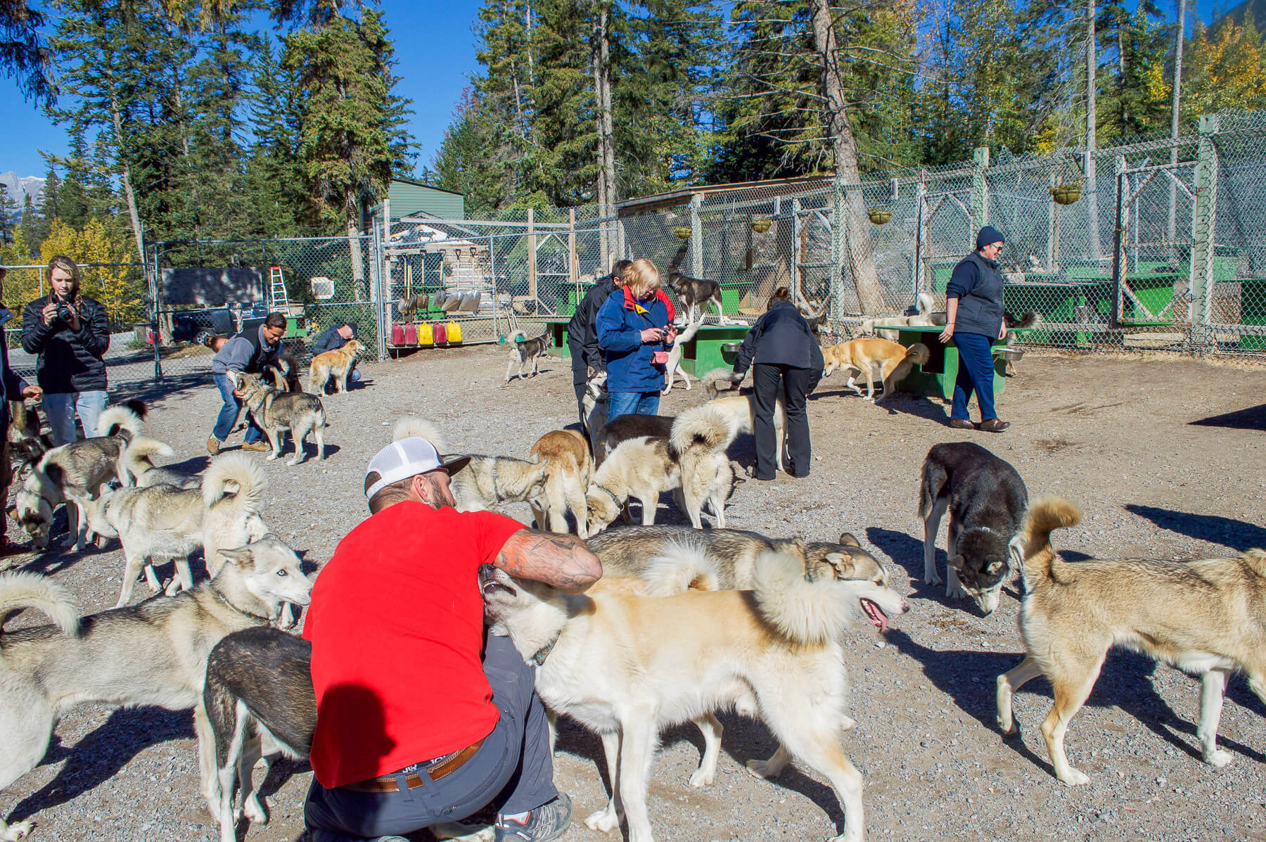 people patting 100 snow dogs, Canmore