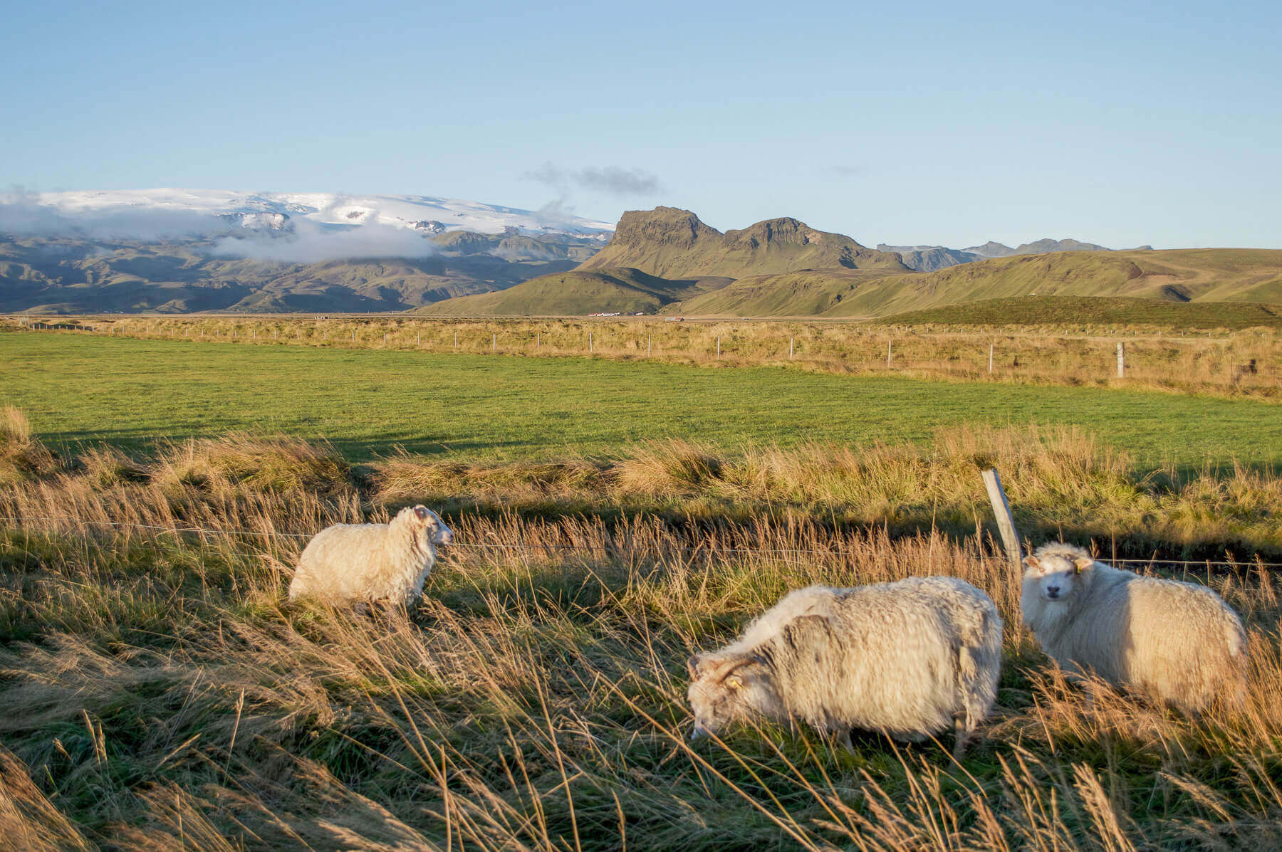 Which sheep grazing in a field in front of mountains in Iceland