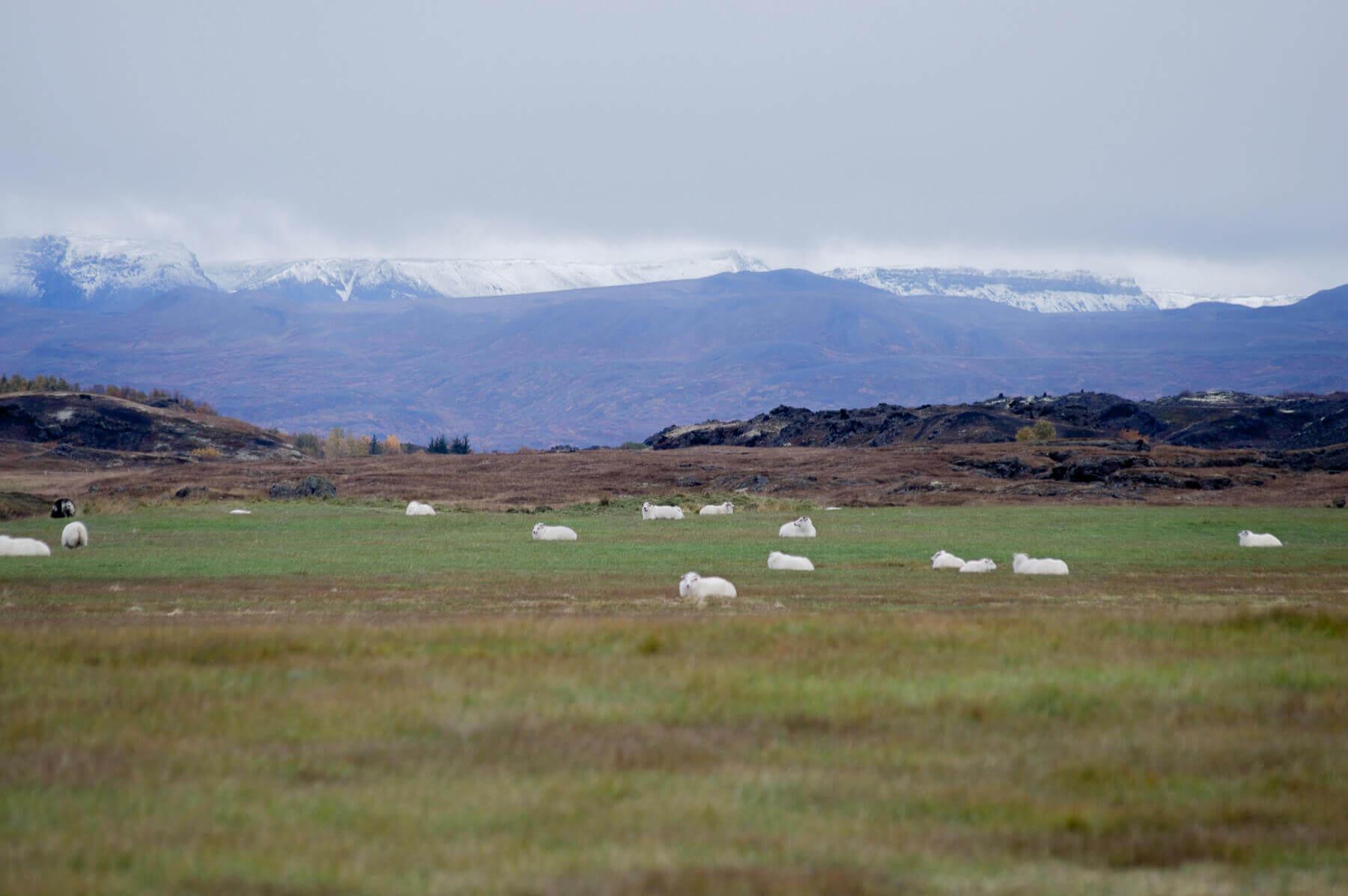 A herd of Icelandic Sheep in a big field