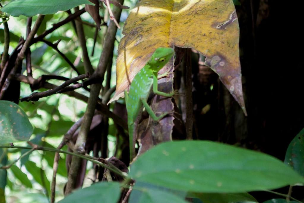 Bright green Lizard on a leaf