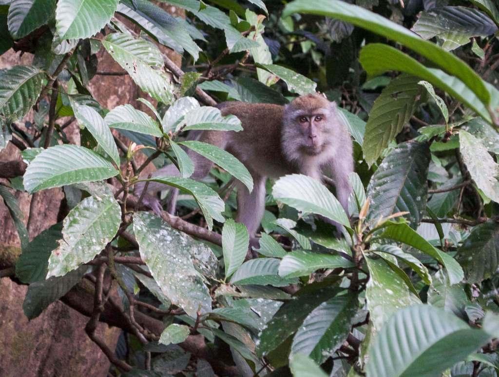 Macaque monkey staring at camera