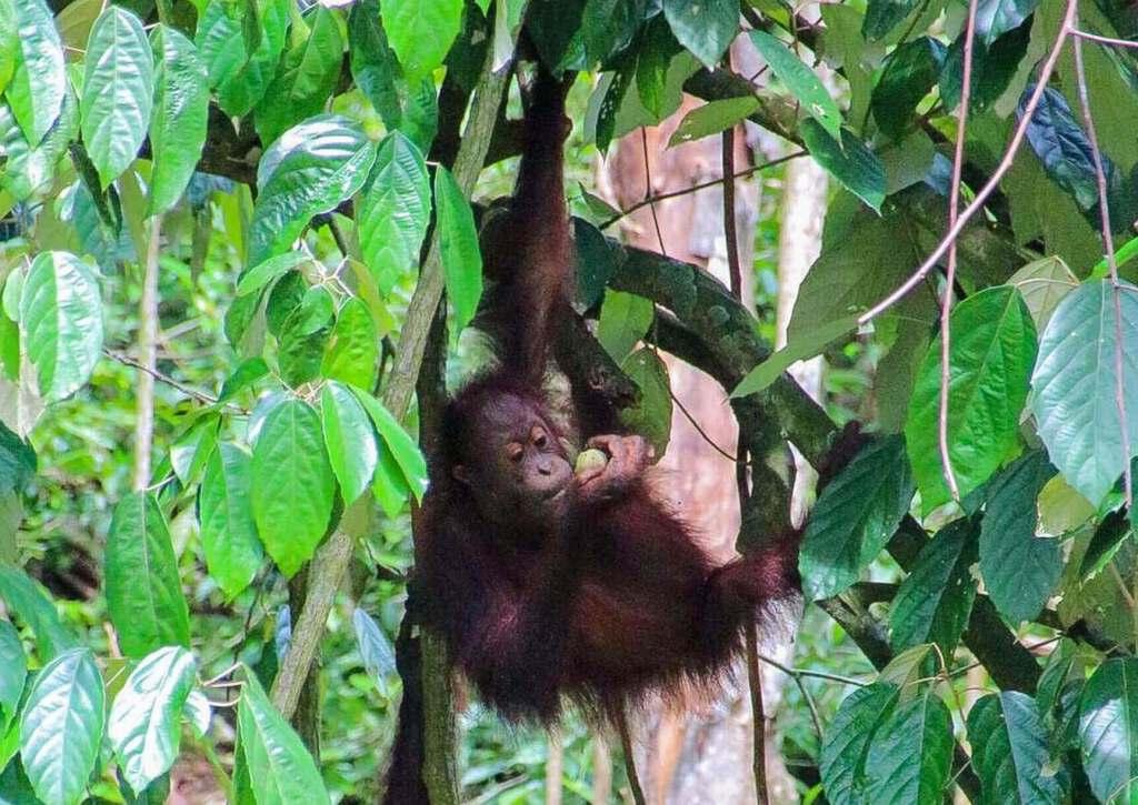 Baby Orangutan hanging in Tree with fruit in hand