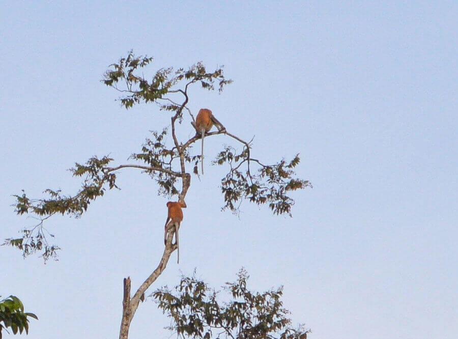2 Proboscis Monkeys at the top of a thin Tree