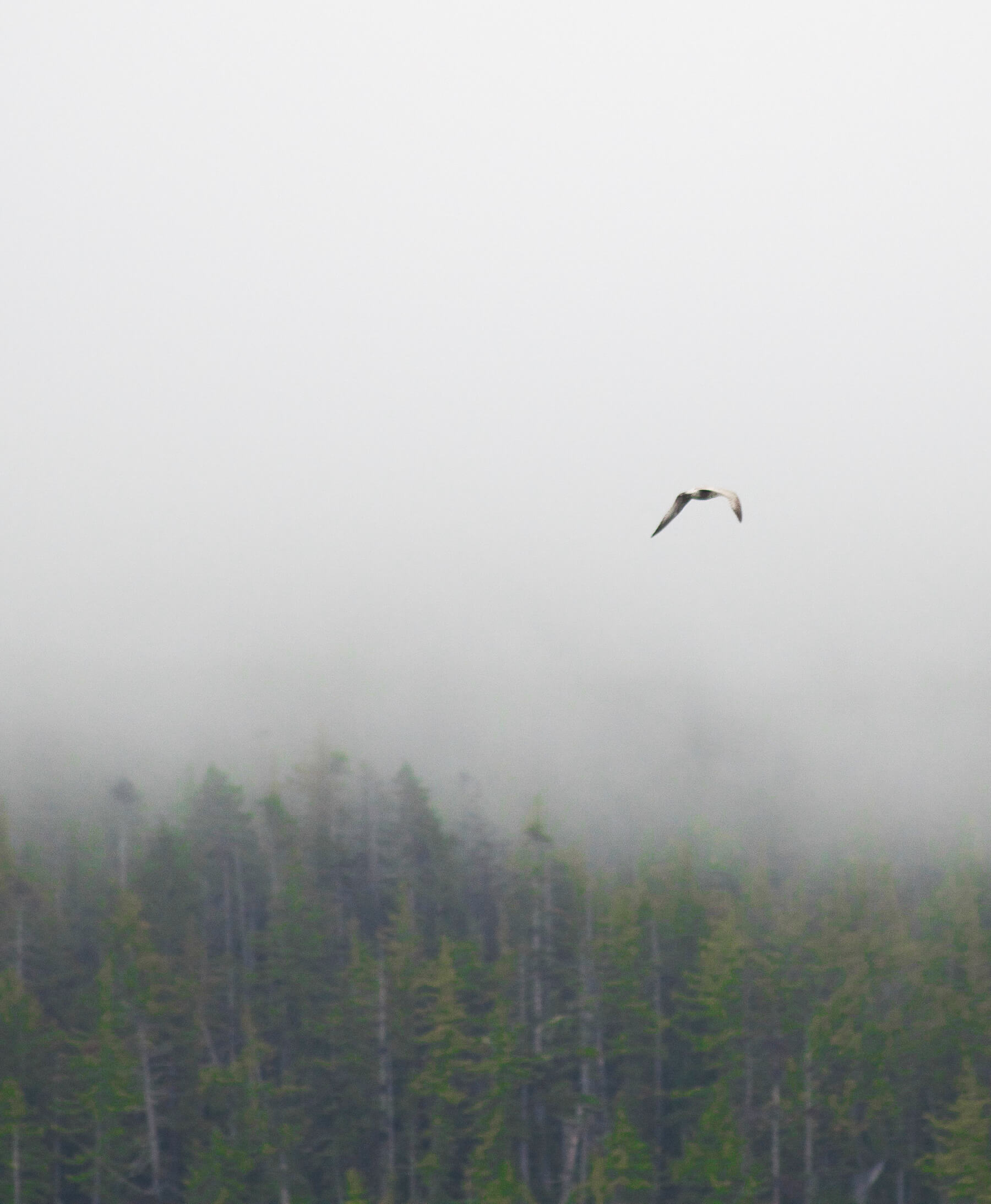 Seagull flying into fog in Alaska
