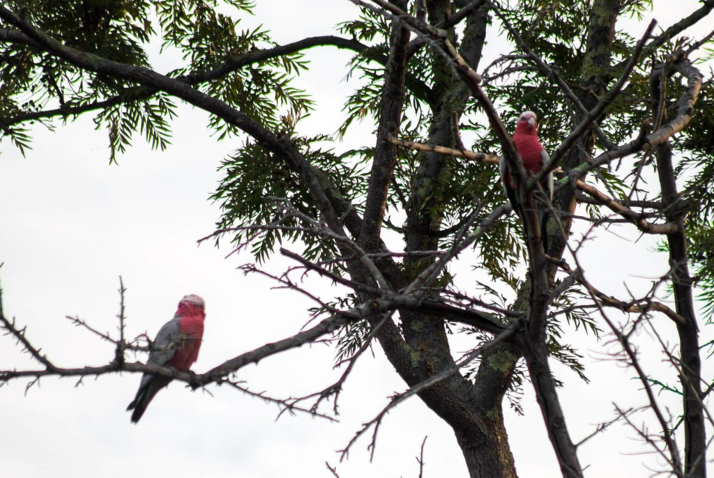 2 Galah's sitting in a tree in Australia