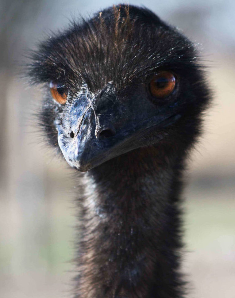 Head and neck of a brown Australian Emu