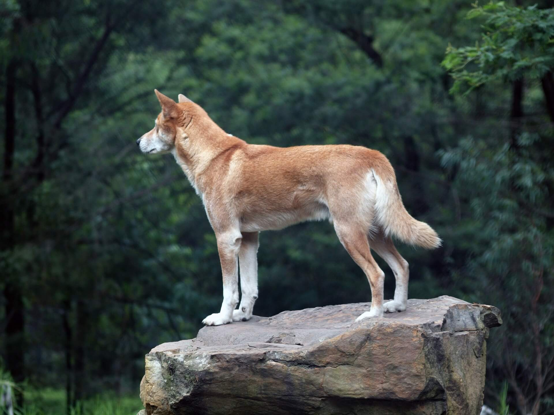 Dingo (wild dog) standing on a rock - side on view