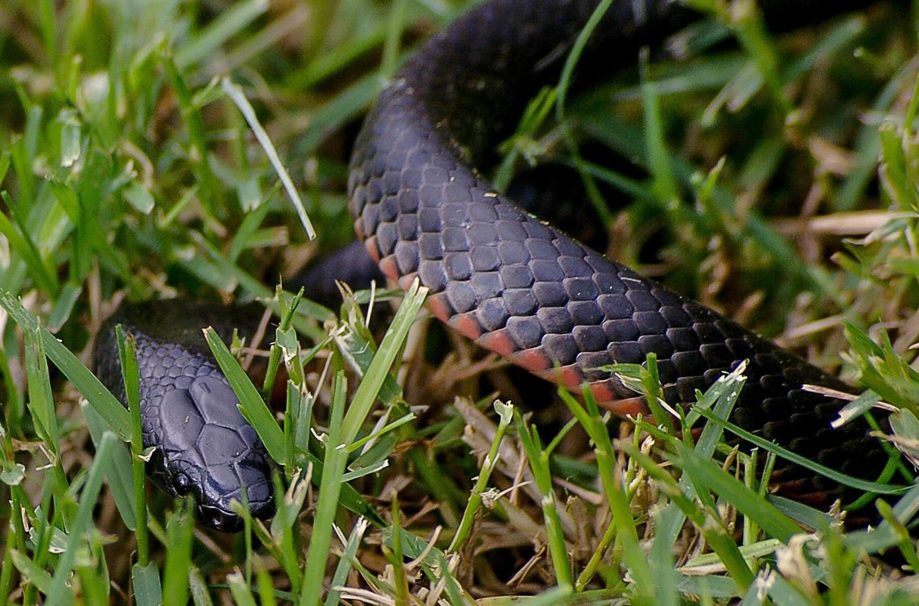 A coiled red bellied black snake in the grass