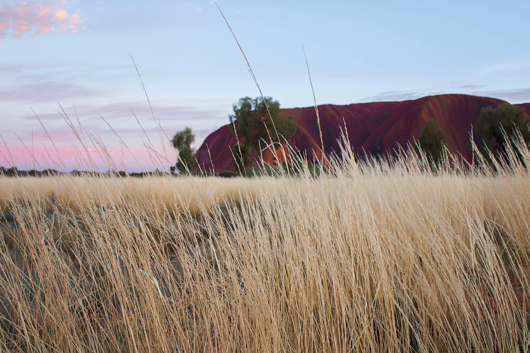 Focused on the Spinifex grass with Uluru in the background and pink sunrise sky
