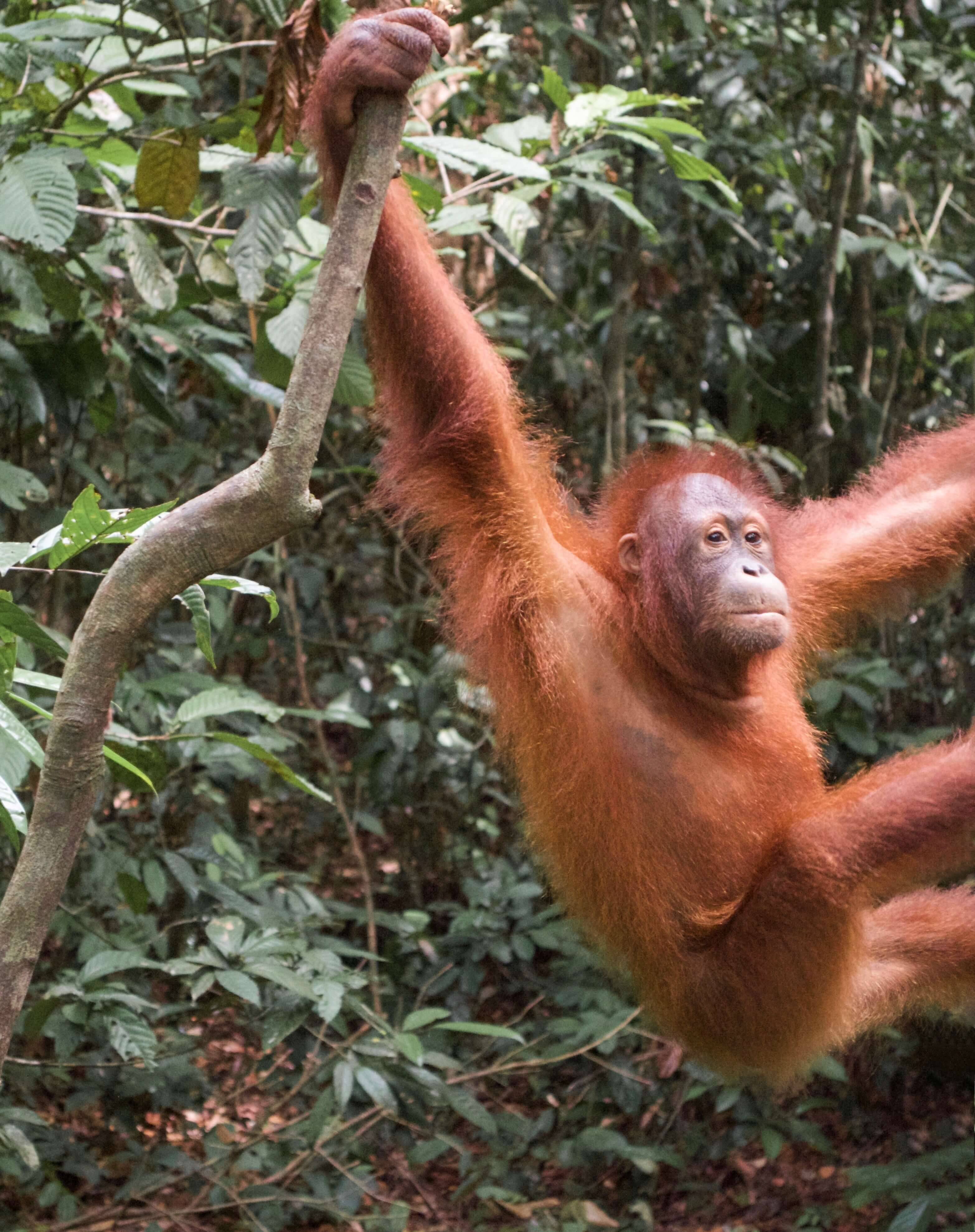 Bornean Orangutan hanging from a tree in the Jungle