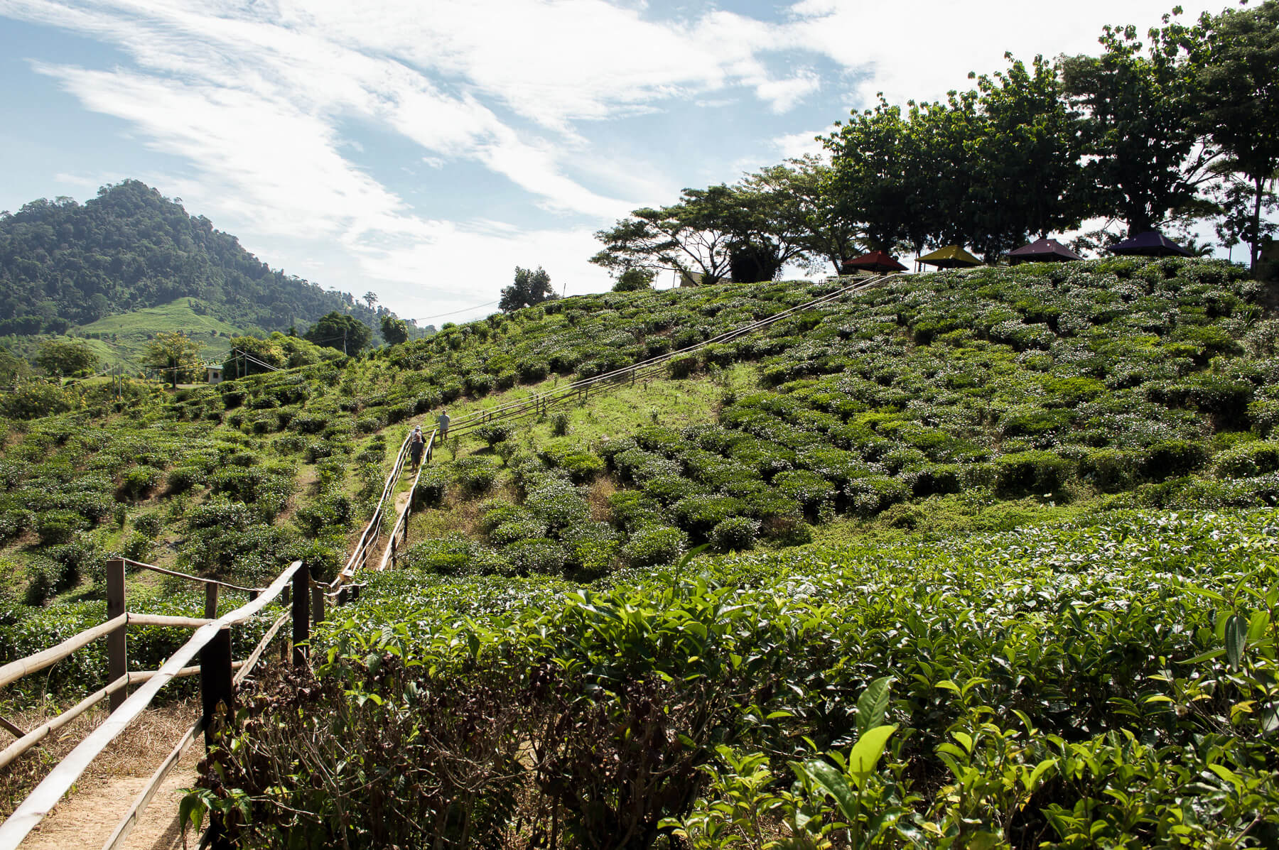 Path way walking through a Tea Plantation