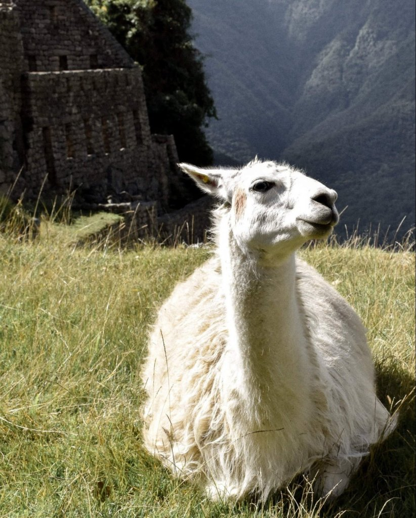 White Llama sitting down whilst facing the camera with Machu Picchu ruins and valley in the background