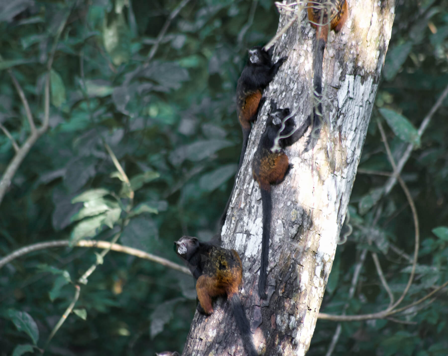 A family of 4 Tamarin monkeys hanging on to a tree trunk and looking back at the camera