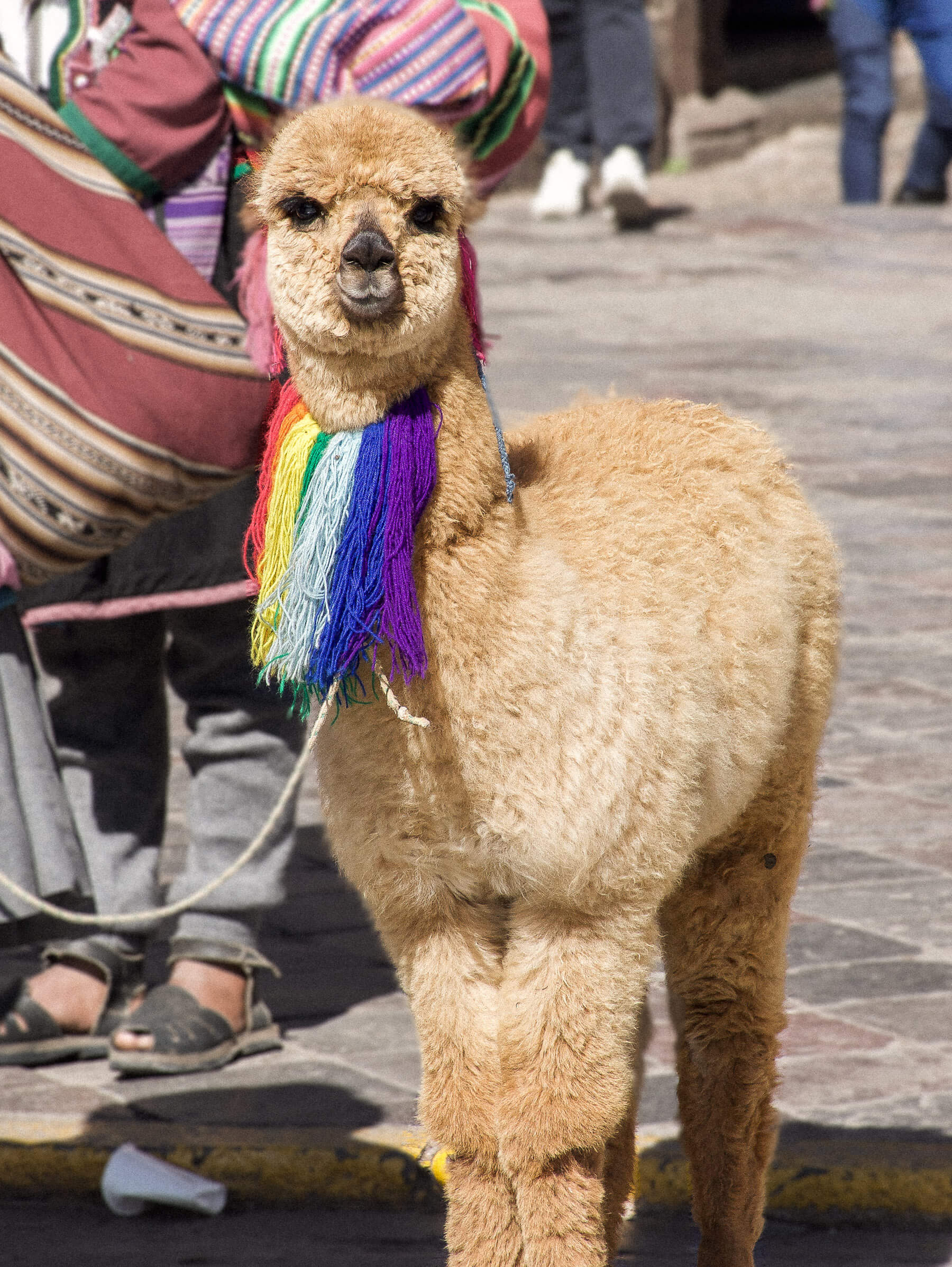 A light brown fluffy alpaca walking in the street with a colourful string necklace around his neck