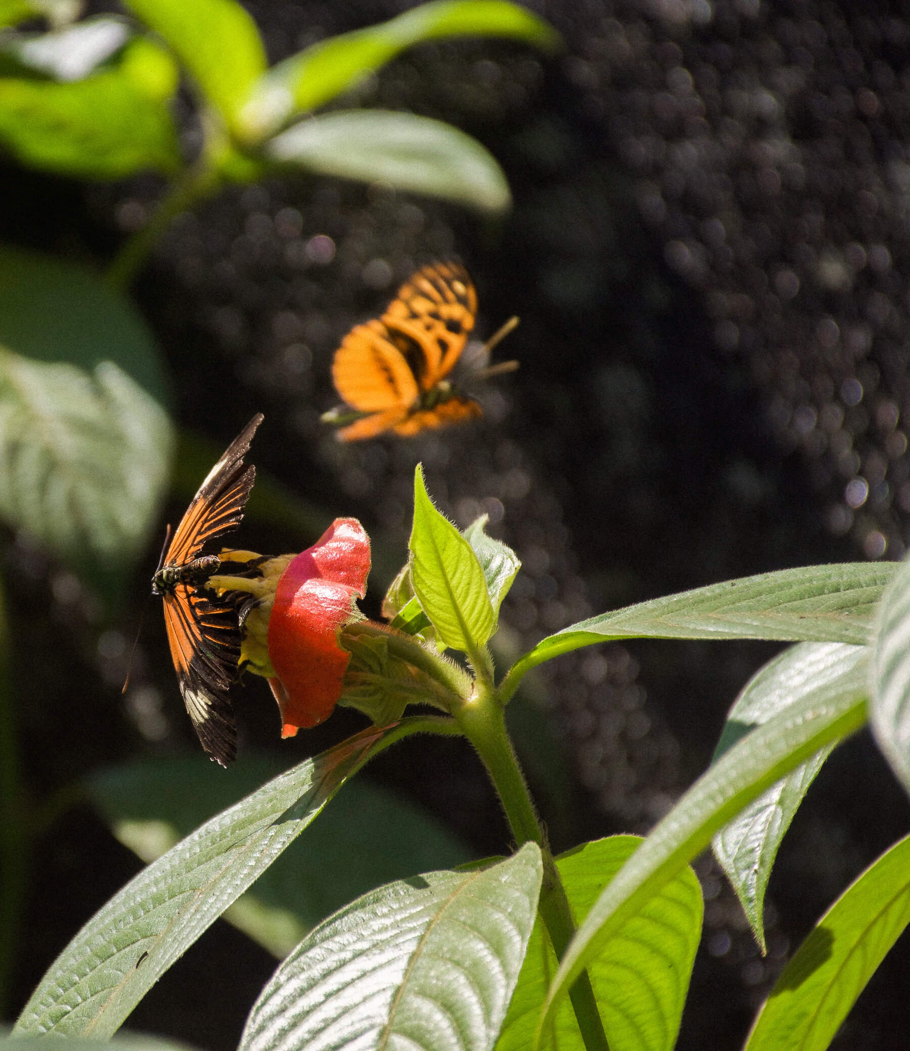 2 Orange butterflies, one on a red flower and one flying behind it