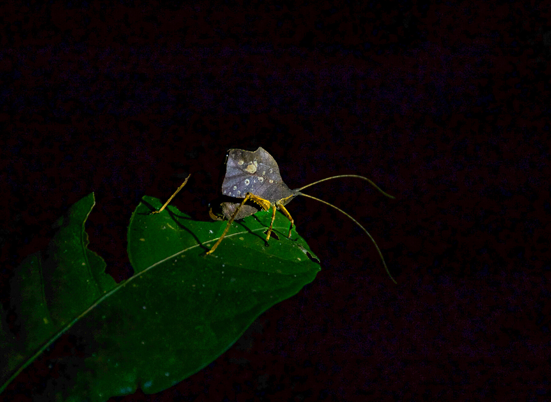 A small strange Amazonian bug with yellow legs and antlers, and an oblong shell, perched on a green leaf during the night