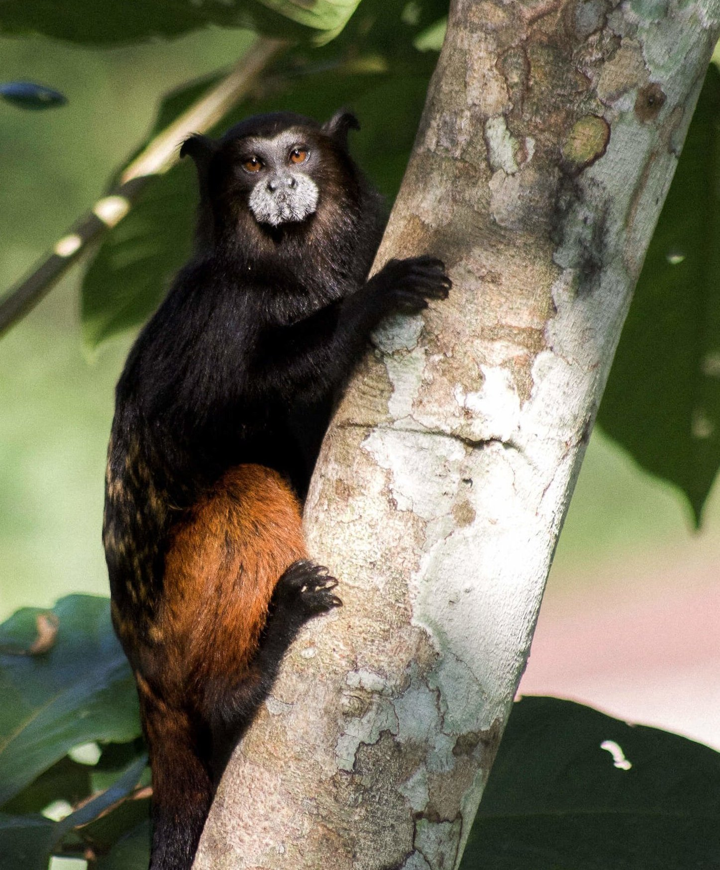 A small black and brown Tamarin monkey hanging onto a branch looking straight into the camera
