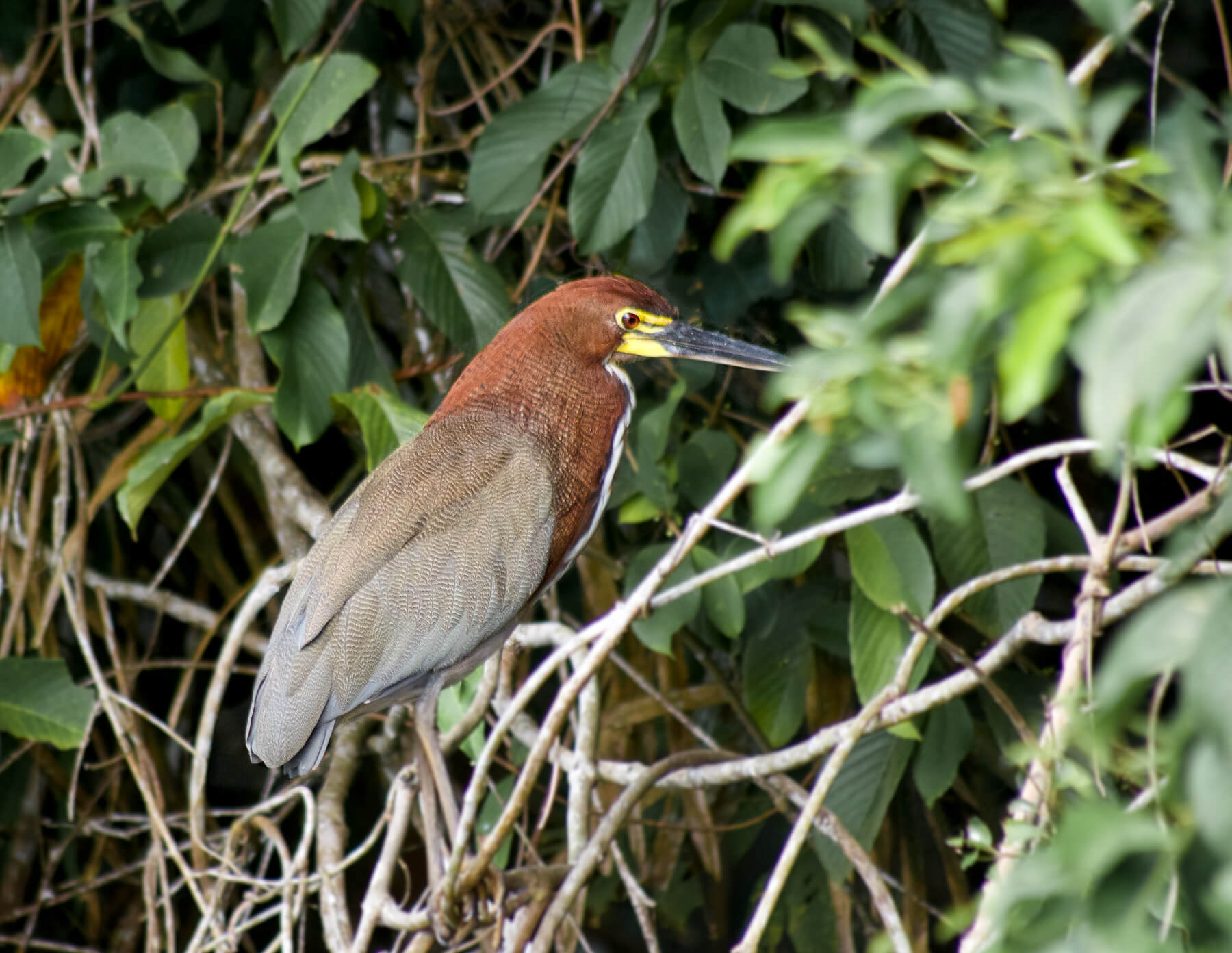 A dark brown bird with an orange head and yellow eyes sitting side on in the jungle
