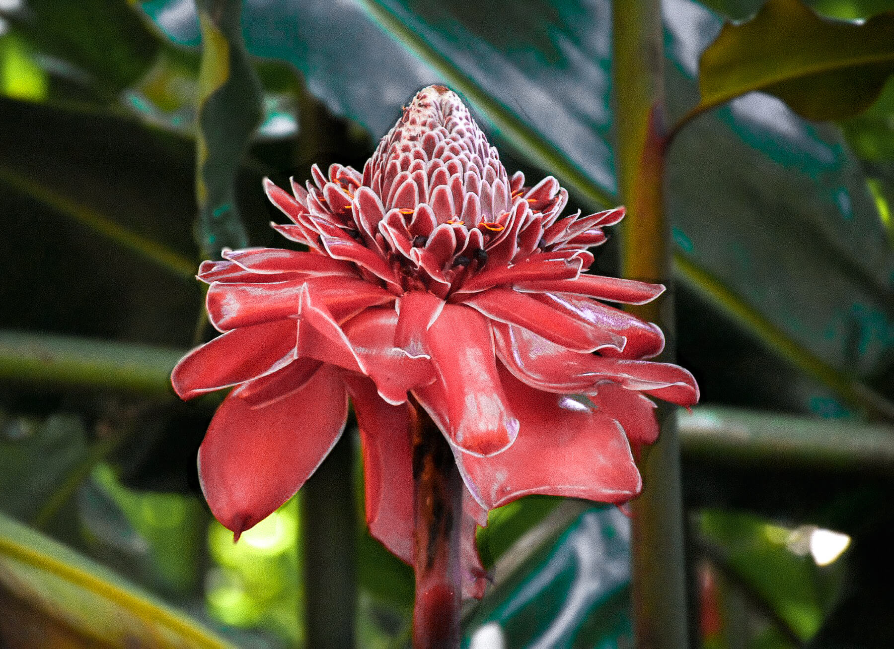 Close up of a beautiful red flower with green palm leaves in the background