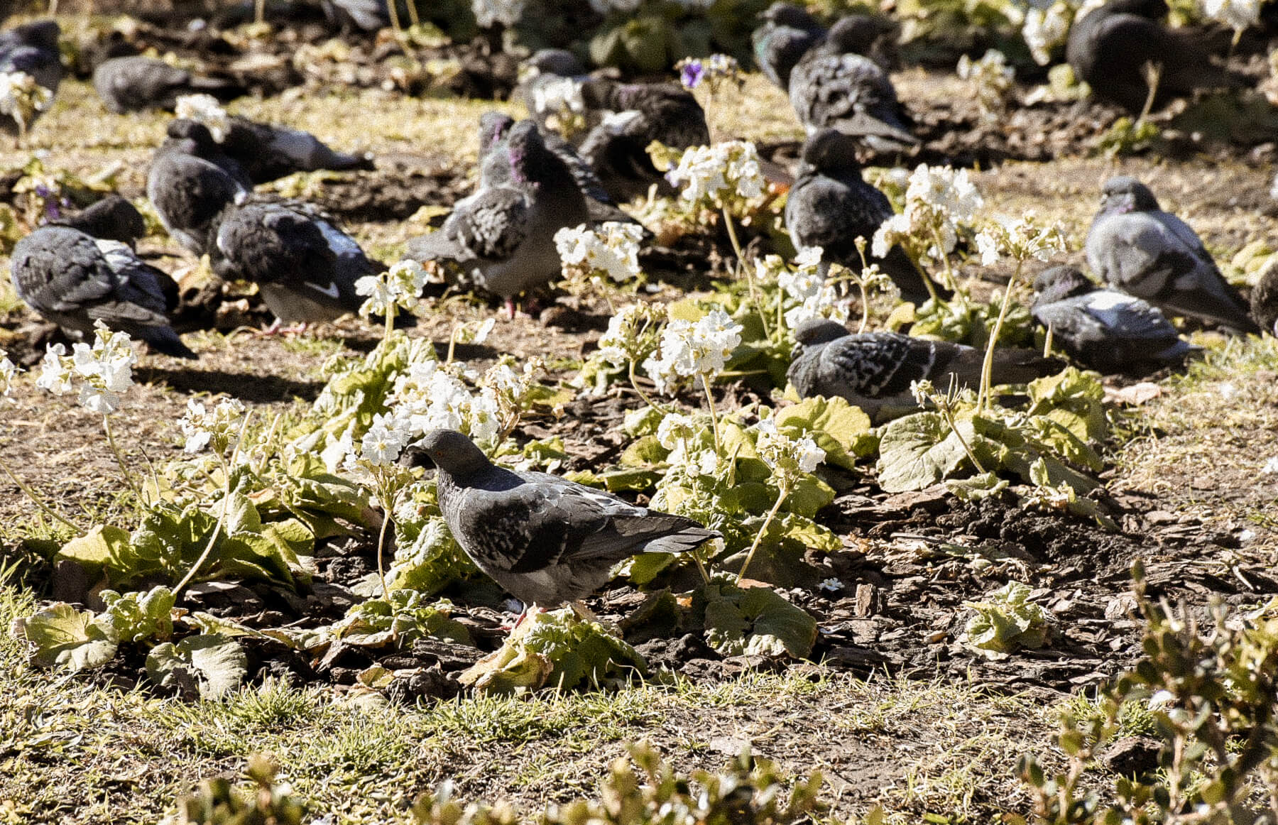 A flower garden filled with resting pigeons